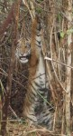 Tiger trapped